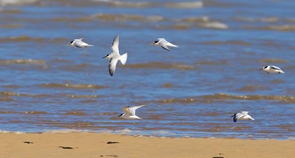 Sandwich Tern Ringing Data